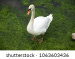 swan at a meadow | Shutterstock . vector #1063603436