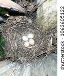 erithacus rubecula. the nest of ... | Shutterstock . vector #1063605122