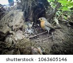 erithacus rubecula. the nest of ... | Shutterstock . vector #1063605146