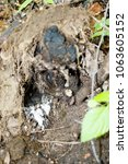 erithacus rubecula. the nest of ...   Shutterstock . vector #1063605152