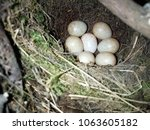 erithacus rubecula. the nest of ...   Shutterstock . vector #1063605182