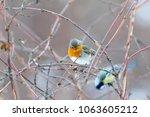 robin  erithacus rubecula ....   Shutterstock . vector #1063605212