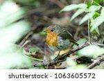 robin  erithacus rubecula .... | Shutterstock . vector #1063605572