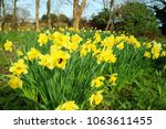 A Field Of Daffodils Being...