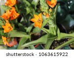 view from above of ornithogalum ... | Shutterstock . vector #1063615922
