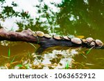 Turtles Sunbathing On A Branch...
