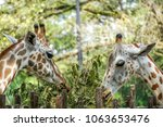 Close Up Portrait Of Giraffe