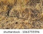 coast garter snake  also called ... | Shutterstock . vector #1063755596