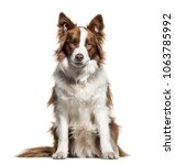 border collie  1 year old ... | Shutterstock . vector #1063785992