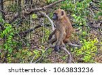 unique photo of a monkey in a... | Shutterstock . vector #1063833236