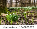 snowdrop spring flowers ... | Shutterstock . vector #1063835372