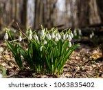 snowdrop spring flowers ... | Shutterstock . vector #1063835402