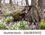 snowdrop spring flowers ...   Shutterstock . vector #1063835432