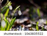 snowdrop spring flowers ... | Shutterstock . vector #1063835522