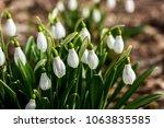 snowdrop spring flowers ... | Shutterstock . vector #1063835585