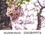 cherry blossoms close up in... | Shutterstock . vector #1063849976