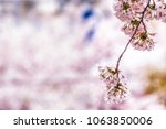 cherry blossoms close up in... | Shutterstock . vector #1063850006