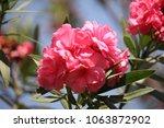 Blurred Pink Oleander Flowers ...