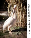 White Pelican At The Zoo