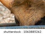 Head Of Big Adult Bull Is Clos...