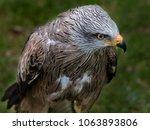 Black Kite  Milvus Migrans  Is...