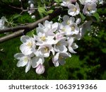 blossoming flowers on the apple ... | Shutterstock . vector #1063919366