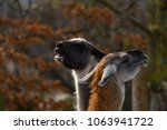 llama   lama glama  llama... | Shutterstock . vector #1063941722