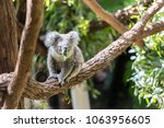 a koala was eating leaves on a... | Shutterstock . vector #1063956605
