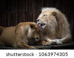 Couple Of Lion And Their...