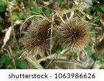 Unknown Brown Garden Plant
