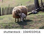 Small photo of Lamb suck sheep
