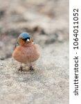 fluffy forest bird  robin... | Shutterstock . vector #1064011052