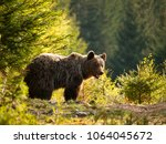 Small photo of Brown bear in Mala Fatra mountains in Slovakia - Ursus actor