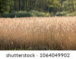 seeds and stalks of common reed ... | Shutterstock . vector #1064049902