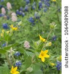 Beautiful Yellow Texas Star An...