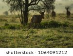 Small photo of Hartebeests absconding early morning on dewed Savannah.