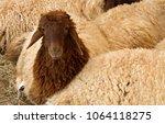 a juvenile awassi sheep | Shutterstock . vector #1064118275