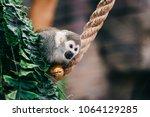 funny little mokeys subspecies... | Shutterstock . vector #1064129285