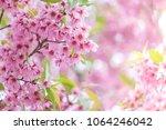 pink sakura flower bloom in... | Shutterstock . vector #1064246042