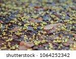 dominican mahogany  flower ...   Shutterstock . vector #1064252342