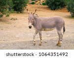 single somali wild ass donkey ... | Shutterstock . vector #1064351492