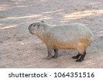 single capybara  known also as...   Shutterstock . vector #1064351516