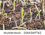rare sprouts of barley  covered ...   Shutterstock . vector #1064369762