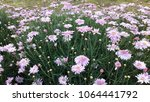 large group of purple flowers... | Shutterstock . vector #1064441792