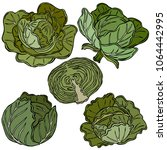 cabbage colored illustration ... | Shutterstock .eps vector #1064442995