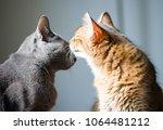 Somali Kitten Kissing A Korat...