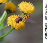the fly syrphidae  sits on the... | Shutterstock . vector #1064527568