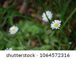 dainty daisy in high grass | Shutterstock . vector #1064572316