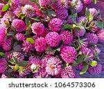 Clover Flowers. Pink Flower...