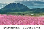 orchards in bloom. blossoming ... | Shutterstock . vector #1064584745